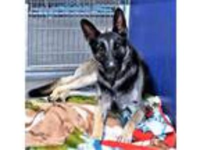 Adopt R231005/kiki a German Shepherd Dog