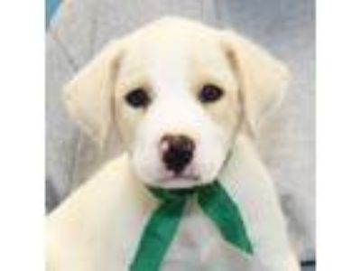 Adopt Tabbouleh a White Mixed Breed (Large) / Mixed dog in Lansing