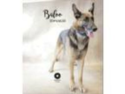 Adopt Balue a German Shepherd Dog