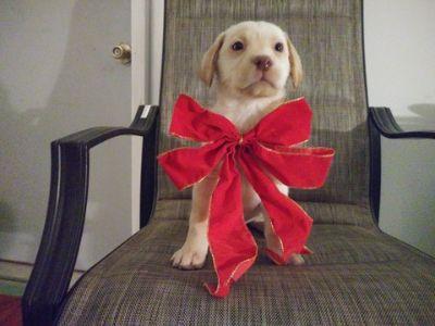 Labrador Retriever PUPPY FOR SALE ADN-106667 - Yellow Male Lab