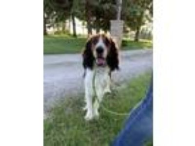 Adopt T a Brown/Chocolate English Springer Spaniel / Mixed dog in Grinnell