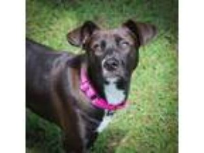 Adopt Mardi a Brown/Chocolate - with White Labrador Retriever / Mixed dog in