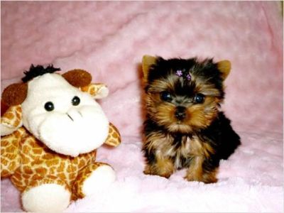 $ adorable yorkie puppies for adoption 817380-1551