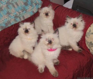 Energetic, and loveable Ragdoll Kittens