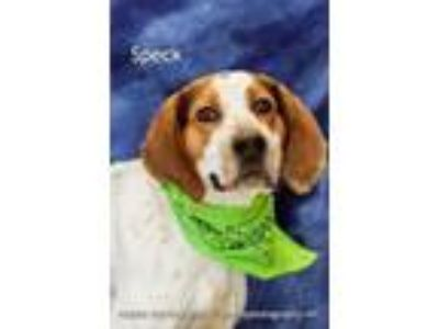 Adopt Speck a White Treeing Walker Coonhound / Mixed dog in Cedar Rapids
