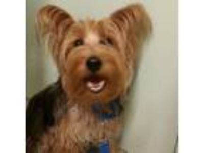Adopt Toto a Yorkshire Terrier, Mixed Breed