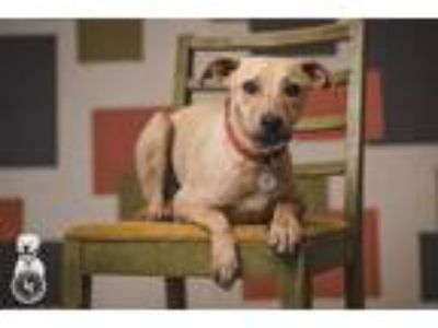 Adopt Cameron a Tan/Yellow/Fawn Catahoula Leopard Dog / Labrador Retriever /