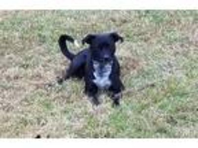 Adopt Ron a Black - with White Australian Cattle Dog / Labrador Retriever /