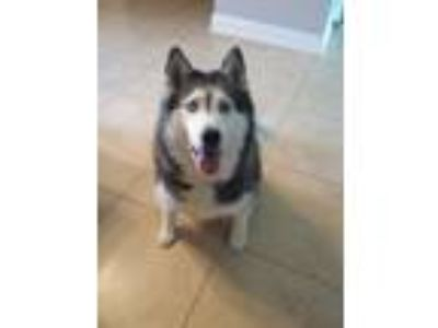 Adopt Blizzard a Black - with White Husky / Mixed dog in Gulf Breeze