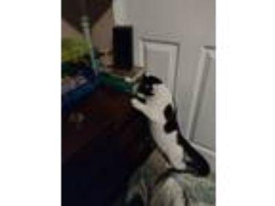 Adopt Steve a Black & White or Tuxedo American Shorthair / Mixed cat in Orlando