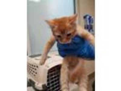 Adopt Thorne a Orange or Red Domestic Shorthair / Domestic Shorthair / Mixed cat