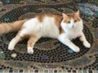 Adopt Ivy, Blue Belle a Domestic Long Hair