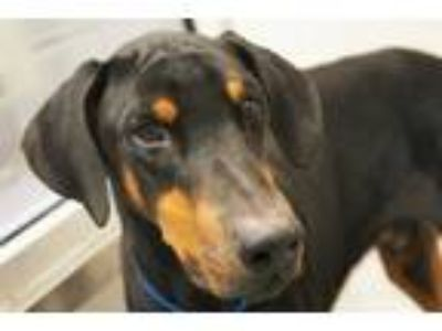 Adopt CHICO a Black - with Tan, Yellow or Fawn Doberman Pinscher / Mixed dog in