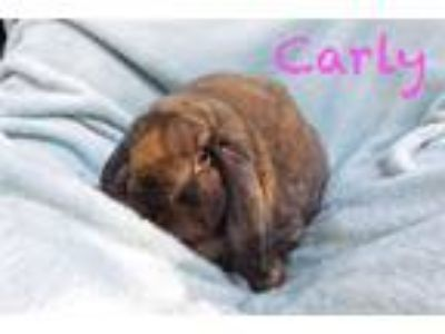 Adopt Carly a Lop Eared
