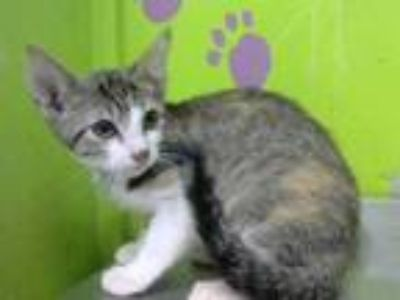 Adopt ALLISON a Brown or Chocolate (Mostly) Domestic Shorthair / Mixed (short