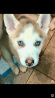 Siberian Husky PUPPY FOR SALE ADN-95249 - CKC Siberian Husky Puppies