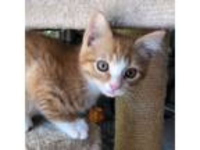 Adopt Frankie a Orange or Red Tabby Domestic Shorthair (short coat) cat in