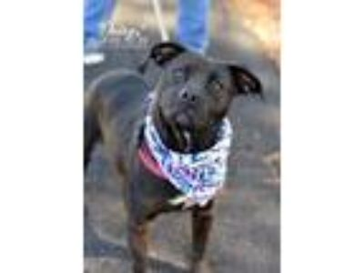 Adopt Daisy T Dalton-Pitty perfection a Pit Bull Terrier