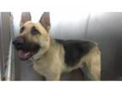 Adopt CAPONE a German Shepherd Dog
