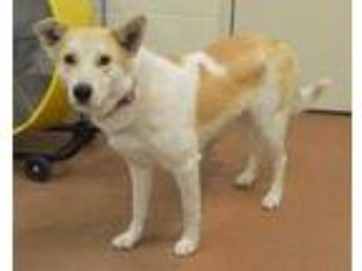 Adopt 59106 Autumn a White Border Collie / Great Pyrenees / Mixed dog in Spanish