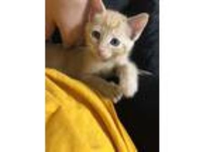Adopt Ron a Orange or Red Domestic Shorthair / Domestic Shorthair / Mixed cat in
