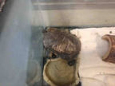 Adopt PIN a Turtle - Other / Mixed reptile, amphibian, and/or fish in