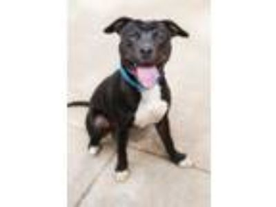 Adopt Brad Pittie a Staffordshire Bull Terrier / Mixed dog in Boone