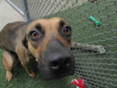 Adopt BRANDIE a Brown/Chocolate - with Black Hound (Unknown Type) / Mixed dog in