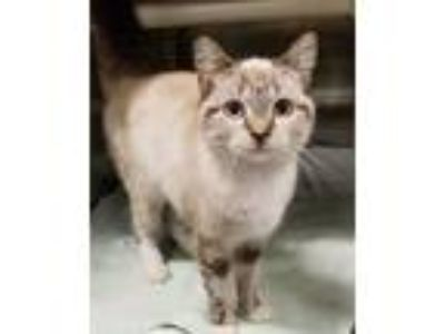 Adopt Star a Cream or Ivory (Mostly) Siamese / Mixed (short coat) cat in