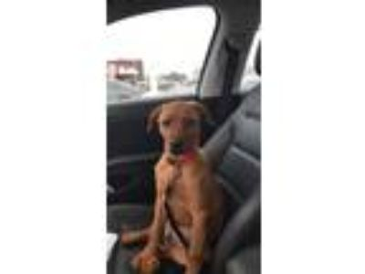 Adopt Honey a Red/Golden/Orange/Chestnut Labrador Retriever / American Pit Bull