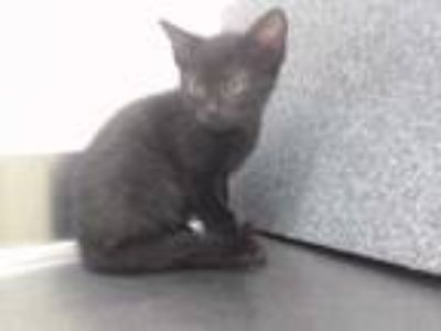 Adopt BEASTY a All Black Domestic Shorthair / Mixed (short coat) cat in Orlando