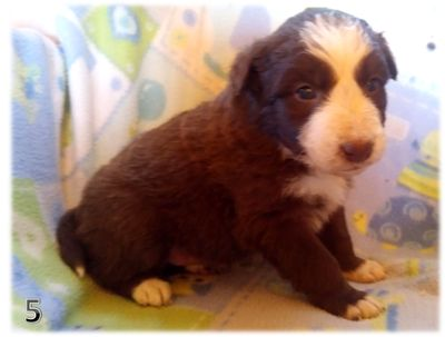 Border Collie PUPPY FOR SALE ADN-107967 - BORDER COLLIE CHRISTMAS PUPPIES IN ARIZONA