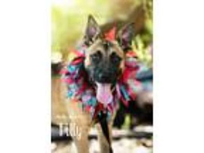 Adopt TILLY* a Brindle German Shepherd Dog / Shepherd (Unknown Type) / Mixed dog