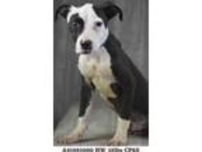 Adopt Penguin a Black American Pit Bull Terrier / Mixed dog in Shreveport