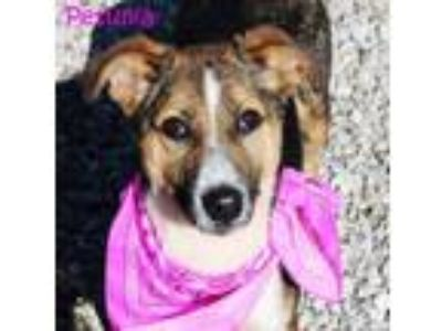 Adopt Petunia *MEET ME AT AA!* a Collie
