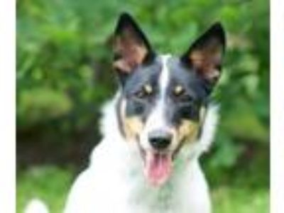 Adopt Gia a Australian Cattle Dog / Blue Heeler