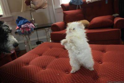 Persian breeding program selling adults and kittens