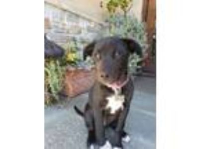 Adopt Scooby Doo Litter_Daphne a Labrador Retriever, German Shepherd Dog