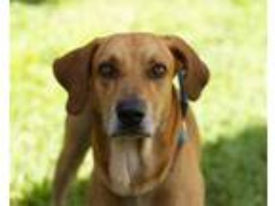 Adopt Eros a Red/Golden/Orange/Chestnut Mixed Breed (Large) / Mixed dog in