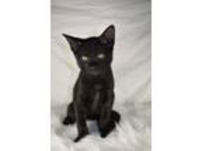 Adopt Mickey a All Black Domestic Shorthair (short coat) cat in Bentonville