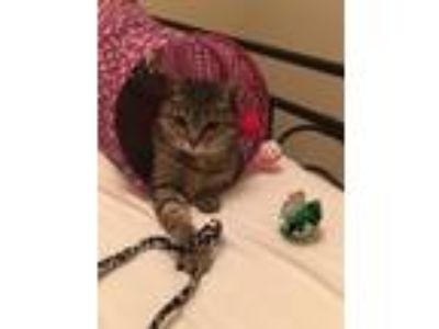 Adopt Minnie a Domestic Short Hair, Tabby