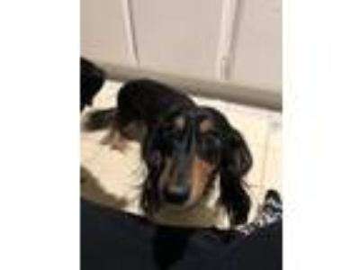 Adopt Baxter a Black - with Tan, Yellow or Fawn Dachshund dog in Villa Park