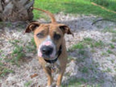 Adopt CHAMELEON a Tan/Yellow/Fawn - with White Boxer / Mixed dog in Fort