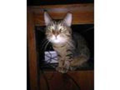 Adopt Bebe a American Shorthair