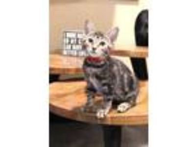 Adopt Zazu a Brown or Chocolate Domestic Shorthair / Domestic Shorthair / Mixed
