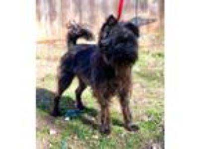 Adopt SJ a Black - with Brown, Red, Golden, Orange or Chestnut Schnauzer