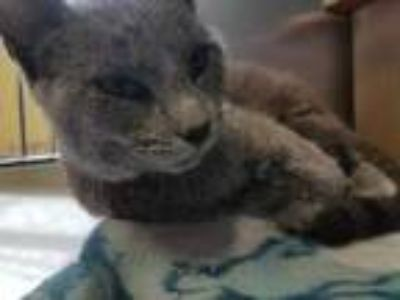 Adopt Steele a Gray or Blue Russian Blue / Domestic Shorthair / Mixed cat in
