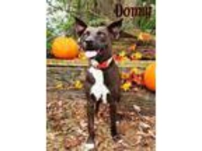 Adopt Donny a Labrador Retriever, Terrier