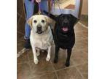 Adopt Bella #7 & Harley a Black Labrador Retriever / Mixed dog in Rockville