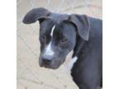 Adopt Gertie a Black - with White Terrier (Unknown Type, Medium) / Mixed dog in